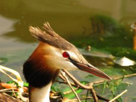 Great Crested Grebe by moniaryba
