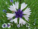 Cornflower after the rain by Paul774