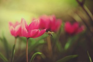 my first bee and tulip :) by CliffWFotografie