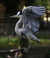 Gray Heron III by Parides