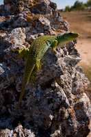 Ocellated lizard II by Solrac1993