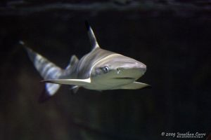 Baby blacktip 2 by InsaneGelfling