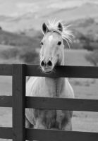 The Fiesty Horse in Black and White by I-Heart-Photos