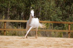 Arab trot forelimb exten front by Chunga-Stock
