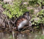 Grebe trying to lay a egg by slingeraar