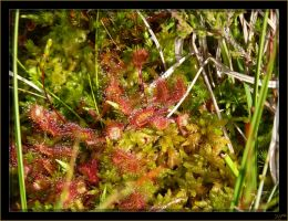 Drosera - 1 by J-Y-M