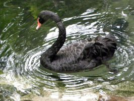 Black Swan by 777His