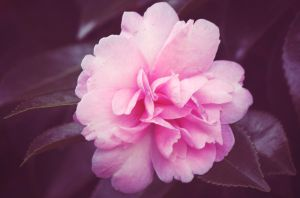 pink bloom by LevisPhotography
