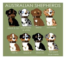 Australian Shepherd Color Patterns by briteddy