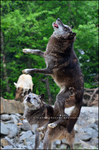 Wolfeejumping by Tiefenschaerfe