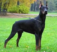 Doberman picture. #5. by Mugsh0t