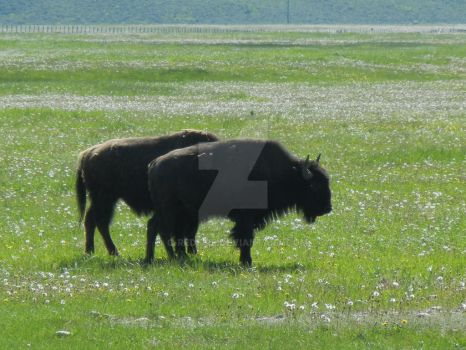 Bison Pair by C-Redfire