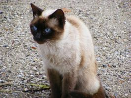 Siamese Cat by CMFbling