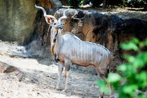 Houston Zoo - Kudu by BPHaines