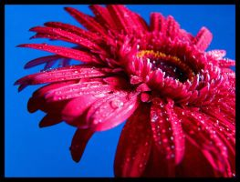 Gerber Daisy 3 by 1000--Words