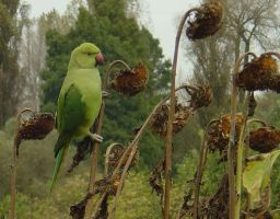 Parakeet and sunflower heads by Ommadawn