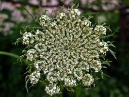 Queen Anne Lace I by Baq-Stock