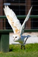 Fluffy the Barn Owl by Steve-FraserUK