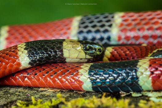 Central American Coral Snake by MCN22