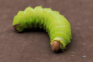 Antheraea Polyphemus Caterpillar by BlackRoomPhoto