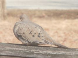 Mourning Doves at Noon 3 by DragonflyLite