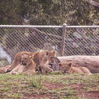Lion Cubs by tingharp