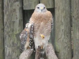 330 Red Shouldered Hawk by crazygardener