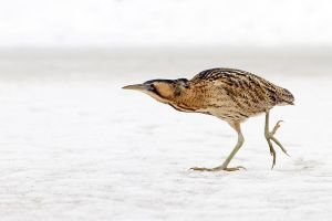 The Bittern and the Cold by thrumyeye