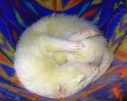 A Ball of Ferret by olpluvr