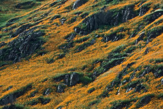 California Poppies by shagie