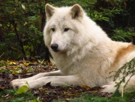 Arctic Wolf 8 by xCrystals