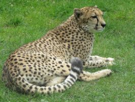 Cheetah 02 by animalphotos
