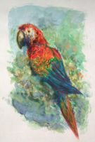 Scarlet Macaw Watercolor by sanjouin-dacapo