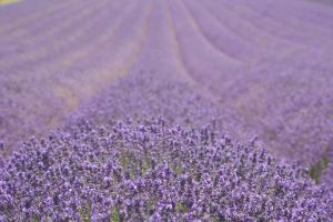 A lavander field by LorenaStraffi