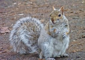 Squirrel by Sonia-Rebelo