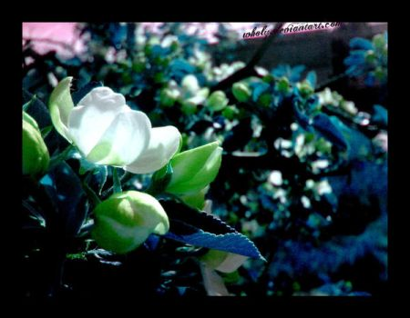 Flower of apple tree by wholy
