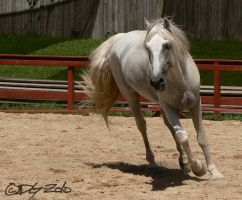 Andalusian Stallion - 58 by ElaineSeleneStock
