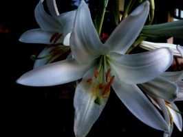 white lilly by SenSeNmaN