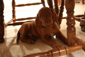 vizsla puppy 3 by zemei