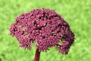 Angelica gigas 2 by Kattvinge