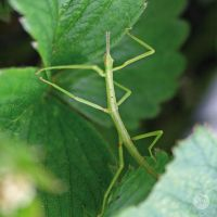 New Zealand Stick Insect 2 by LilFairie
