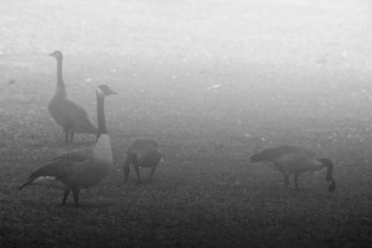 Geese in Fog by MMoreland