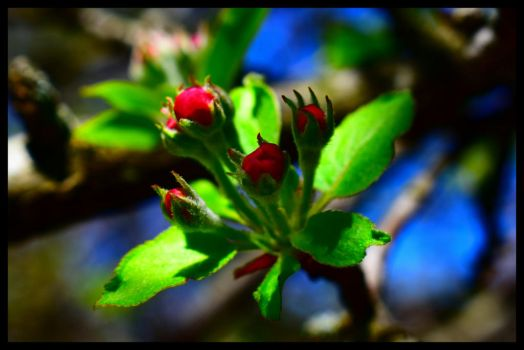Study of apple blossoms blossoming 2 by cecil92