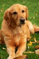 Honey the Golden Retriever Dog by houstonryan