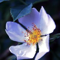 dog rose III by xmagdax