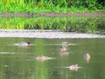 Green-winged Teal by davecbend