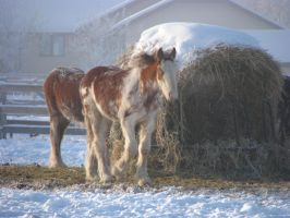 Clydesdale Yearlings 11 by okbrightstar-stock