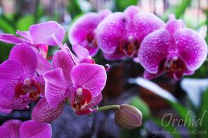 Orchid by RyeChan