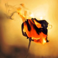 burnt rose by all17