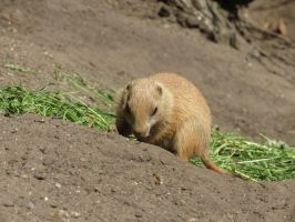 young Marmot 1 by mrscats